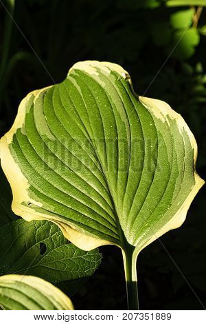 Hostas leaves illuminated by ray of sunshine on a dark background macro