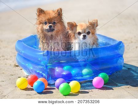 spitz and chihuahua stay in the plastic swimming pool on the beach