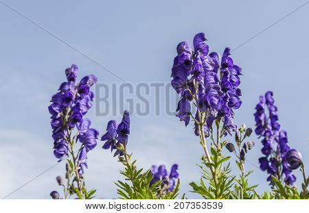 Close-up image of violet high altitude wildflowers (Aconitum napellus) against a blue sky in the Cirque de Troumouse Pyrenees National Park France