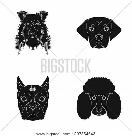 Muzzle of different breeds of dogs.Collie breed dog, lobladore, poodle, boxer set collection icons in black style vector symbol stock illustration .