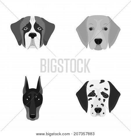 Muzzle of different breeds of dogs.Dog of the breed St. Bernard, golden retriever, Doberman, Dalmatian set collection icons in monochrome style vector symbol stock illustration .