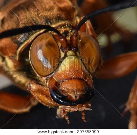 A close up picture of the head of the Cicada Killer Wasp, otherwise known as the Cicada Hawk or Sand Hornet of the species Sphecius speciosus.