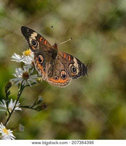 A Common Buckeye (Junonia coenia), feeding on wildflower nectar in a meadow in Frederick County, Maryland, USA, shown with wings fully spread.