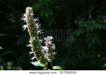 Silhouette of faded burnet flowers against a dark background, horizontal aspect