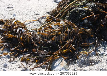 This is an image of seaweed on the beach at the Alsilomar State Preserve in Pacific Grove, California.