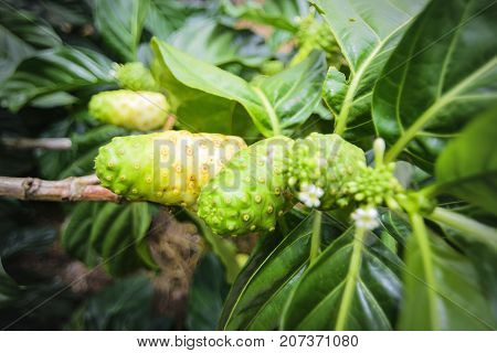 Noni tree or branch of noni fruit.Zoom in.Fruit for health