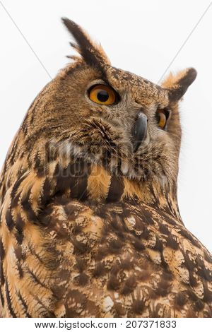 Perched Eurasian Eagle-Owl (Bubo Bubo) in captivity with piercing eyes turned around poster