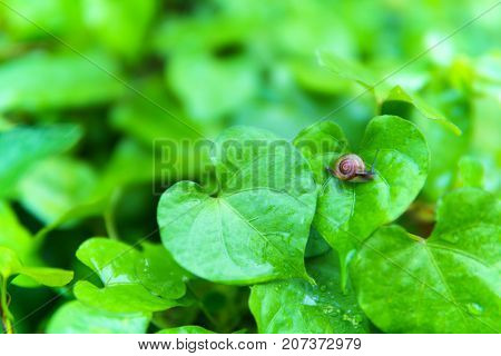 dew on green leaves with tiny snail moving slowly on leaf after the rain in raining day.