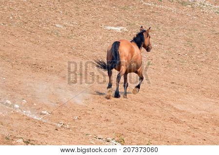 Bay Dun Buckskin Stallion wild horse running in the Pryor Mountains Wild Horse Range on the state border of Montana and Wyoming United States