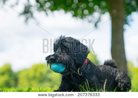 Black labradoodle sits on lawn in garden with blue rubber ball in mouth.