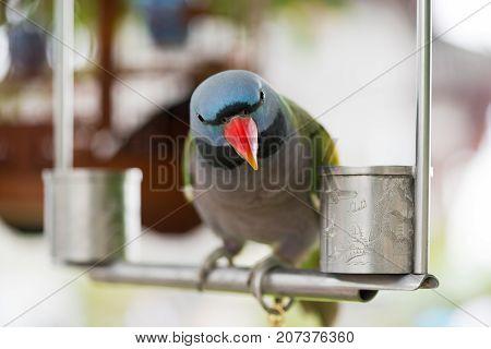 Psittacula alexandri parrot close-up on an iron perch looking at camera, China