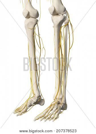 3d rendered medically accurate illustration of the leg nerves