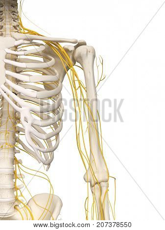 3d rendered medically accurate illustration of the shoulder nerves