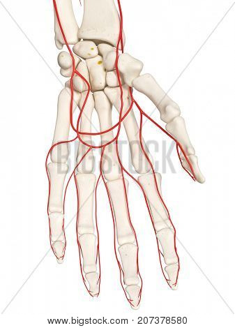 3d rendered medically accurate illustration of the hand arteries