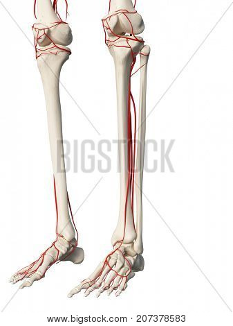 3d rendered medically accurate illustration of the leg arteries