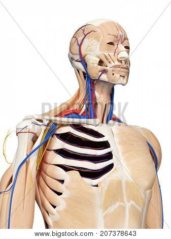 3d rendered medically accurate illustration of the head and neck anatomy