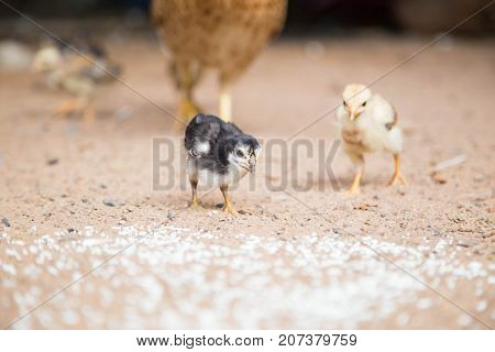 chicken,animal ,animals ,beak, bill, bird ,Chickens eat food by the ground.