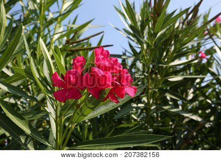 Flowers Of An Oleander Plant