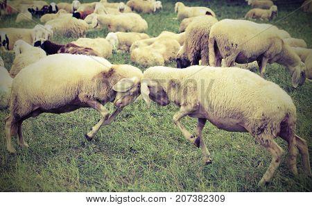 Two Sheep  Clash Headlong During The Loving Season