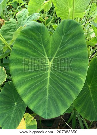 fresh colocasia esculenta leaves in nature garden