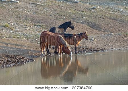 Small band / herd of wild horses drinking at the waterhole in the Pryor Mountains Wild Horse Range in Montana United States