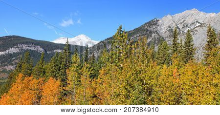 Autumn Aspen trees in Canadian Rocky mountains
