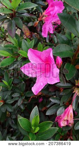 this is a hibiscus flower, this photo is taken right after the rain, so we can still see the water droplets on the flowers, this flower has a different color from the hibiscus flower in general, this hibiscus flowers are purple