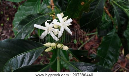 coffee flower, this flower is almost like jasmine, but this is coffee flower