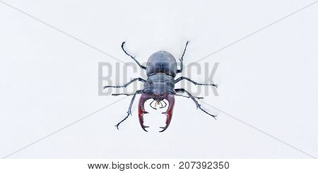 The male horned beetle deer on a white background.