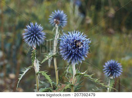 Blue flowers Echinops sphaerocephalus bloom along waterways.