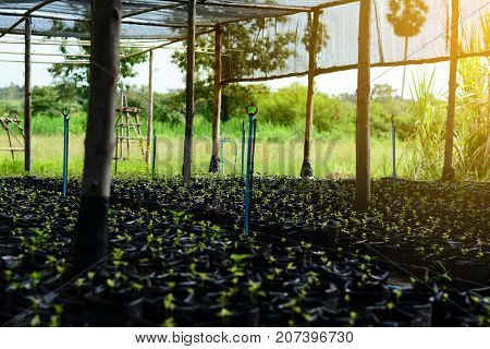 Many  Young  Trees In Plastic Bag At Farm Nursery  With Sunlights In The Morning