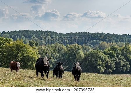 A group of crossbred brood cows stands in a hilly pasture in Appalachia on a late summer day