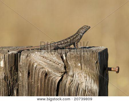 Western Fence Swift Lizard