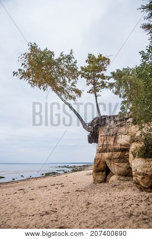 A Beautiful Sandstone Shore Landscape. Trees Growing On A Sandstone Cliffs Ar The Baltic Sea. Scener