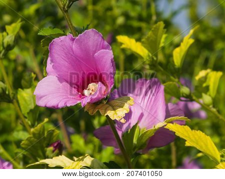 Rose Mallow or Syrian ketmia Hibiscus syriacus flower close-up with bokeh background selective focus shallow DOF.