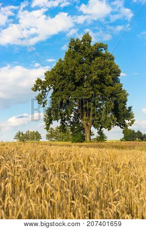 Lonely tree on the field in summer day