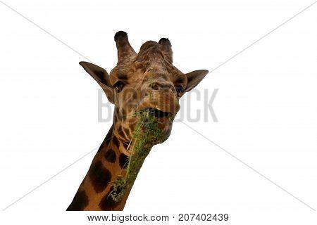 Giraffe on white background/This is  Rothschild`s giraffe isolated on white background.
