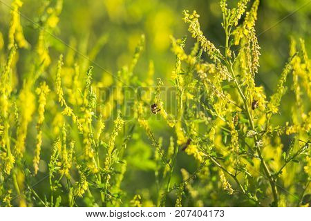 Bees Collect Pollen From Wild Plants Melilotus, Known As Melilot, Sweet Clover, And Kumoniga, Sweet-