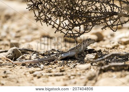 Bosc's fringe-toed lizard sits under a bush in the Negev desert (Acanthodactylus boskianus) poster