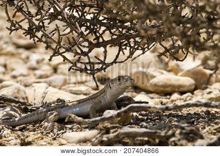 Bosc's fringe-toed lizard sits under a bush in the Negev desert (Acanthodactylus boskianus)