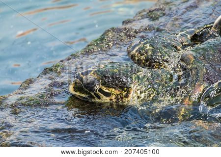 The head of the old sea turtle Hawksbill emerging from the water (Eretmochelys imbricata)