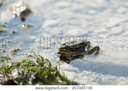 The marsh frog sits on a rock in the water (Pelophylax ridibundus)