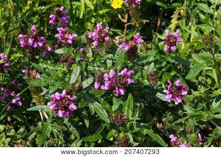 Prunella Or Self-heal Or All-heal Plants.
