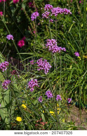 Blossoms Of Verbena.