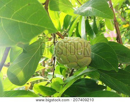 Sugar Apple, Custard Apple, Sweetsop Or Annona Squamosa Linn.