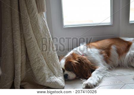 Cavalier King Charles Spaniel lying on a room floor sleeping