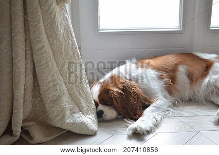 Cavalier King Charles Spaniel lying on a room floor and falling asleep