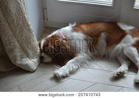 Cavalier King Charles Spaniel Sleeping