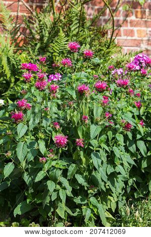 Crimson Beebalm Or Bergamot Plant.
