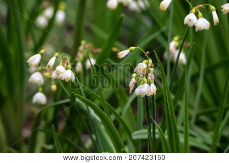 Close up of summer snowflake or Loddon Lily known as Leucojum aestivum